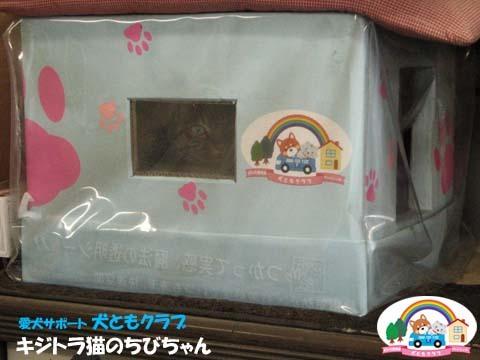 犬ともフレンズキジトラ猫のちびちゃん2016011501.jpg