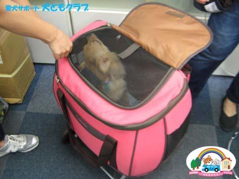 犬ともフレンズチワワのマシューくん2017082505.jpg