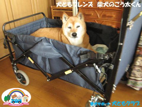 犬ともフレンド柴犬のごう太くん2017061501.jpg