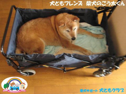 犬ともフレンド柴犬のごう太くん2017061504.jpg