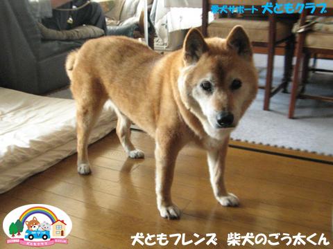 犬ともフレンド柴犬のごう太くん2017061506.jpg
