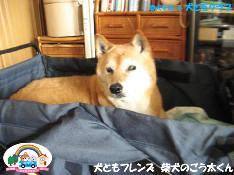 犬ともフレンド柴犬のごう太くん2017061507.jpg