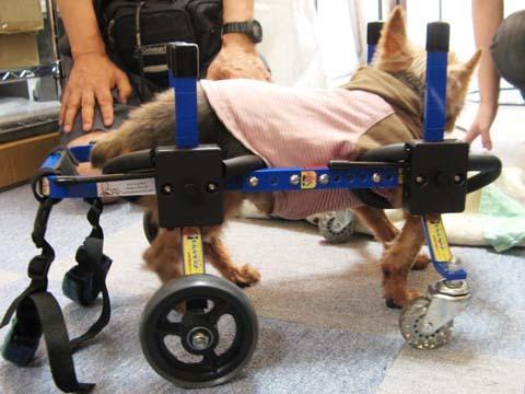 犬用車いすヨーキーのチョコくん2012091201.jpg