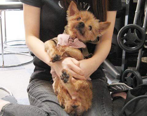 犬用車いすヨーキーのチョコくん2012091205.jpg