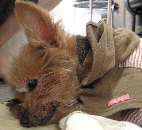 犬用車いすヨーキーのチョコくん2012091206.jpg