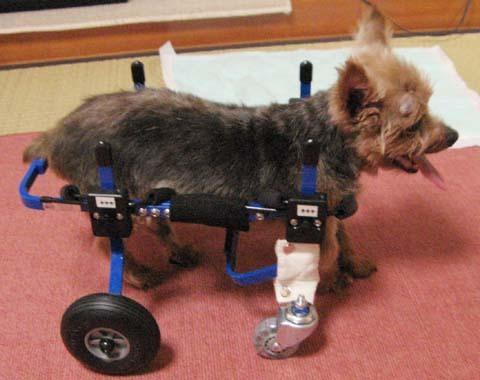 犬用車いすヨーキーのチョコちゃん用2012091603.jpg