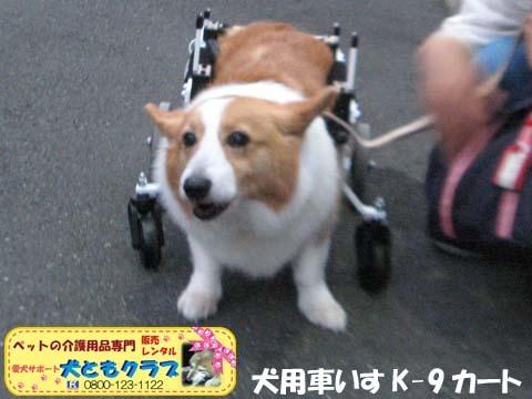 犬用車椅子コーギーのさくらちゃん2017070604.jpg