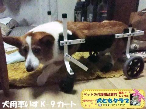 犬用車椅子コーギーのさくらちゃん2018011601.jpg