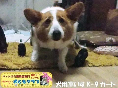 犬用車椅子コーギーのさくらちゃん2018011602.jpg