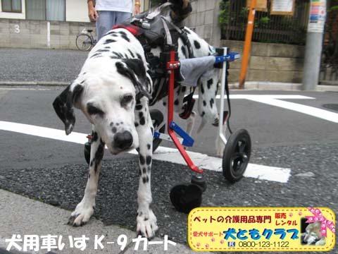 犬用車椅子ダルメシアンのMayちゃん2017082201.jpg