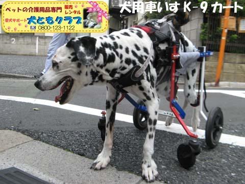 犬用車椅子ダルメシアンのMayちゃん2017082202.jpg