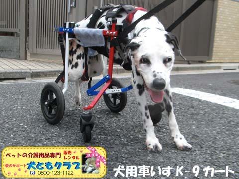 犬用車椅子ダルメシアンのMayちゃん2017082203.jpg