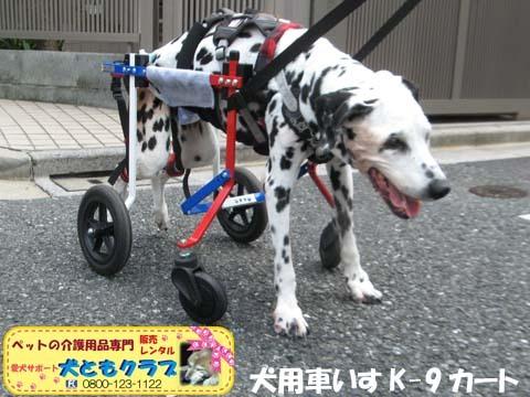 犬用車椅子ダルメシアンのMayちゃん2017082204.jpg