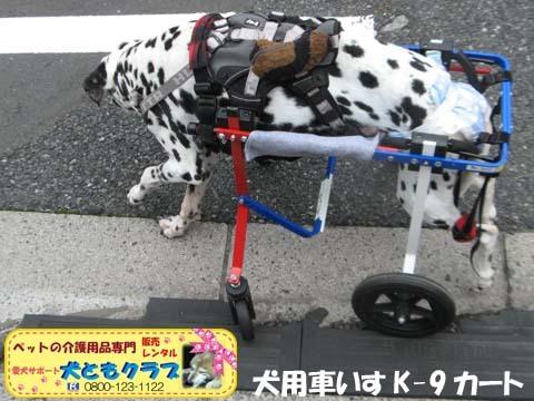 犬用車椅子ダルメシアンのMayちゃん2017082206.jpg