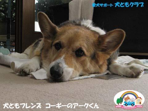 犬用車椅子K-9カートコーギーのアークくん2015013102.jpg