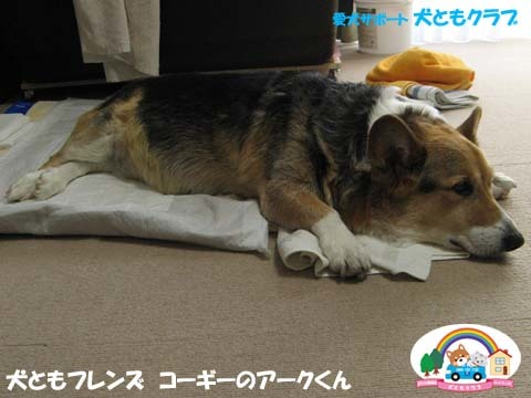 犬用車椅子K-9カートコーギーのアークくん2015013103.jpg