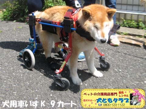 犬用車椅子K9Carts柴犬のチャチャちゃん2017042501.jpg