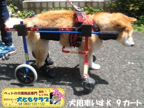 犬用車椅子K9Carts柴犬のチャチャちゃん2017042503.jpg