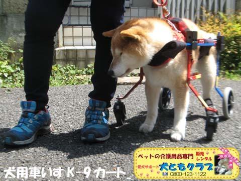 犬用車椅子K9Carts柴犬のチャチャちゃん2017042504.jpg