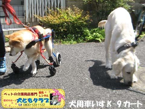犬用車椅子K9Carts柴犬のチャチャちゃん2017042507.jpg