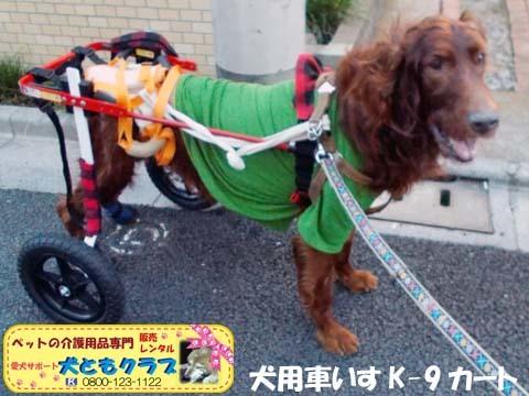 犬用車椅子K9カートアイリッシュセターのグローリーくん2017122801.jpg