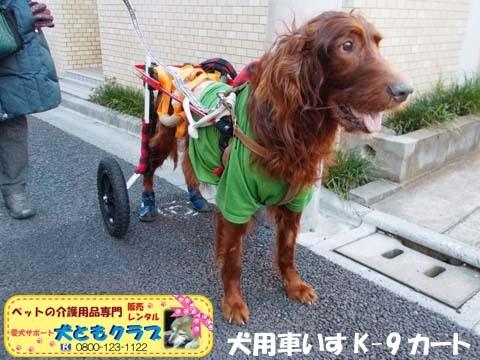犬用車椅子K9カートアイリッシュセターのグローリーくん2017122802.jpg
