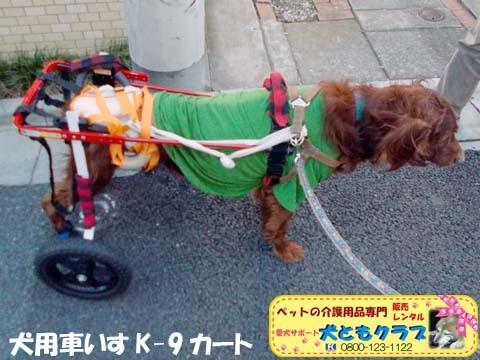 犬用車椅子K9カートアイリッシュセターのグローリーくん2017122804.jpg