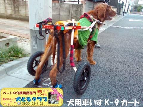 犬用車椅子K9カートアイリッシュセターのグローリーくん2017122805.jpg