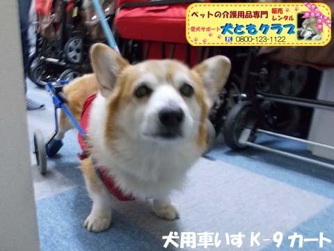 犬用車椅子K9カートコーギーのロビンくん用2017112502.jpg