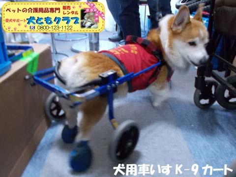 犬用車椅子K9カートコーギーのロビンくん用2017112503.jpg