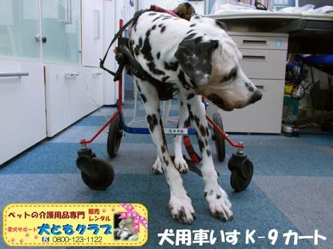 犬用車椅子K9カートダルメシアンのMayちゃん用2017120502.jpg