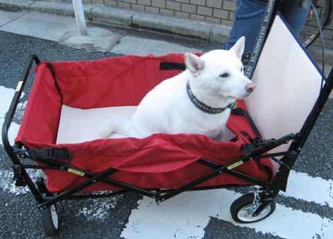 白柴陸くん大型犬用ペットバギー試乗2013101601.jpg