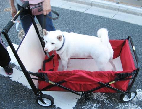 白柴陸くん大型犬用ペットバギー試乗2013101603.jpg