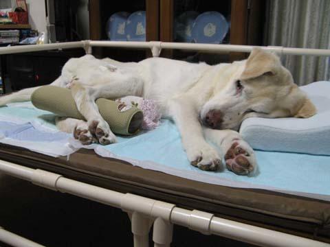 イレクターパイプ製老犬介護ベッド08.jpg