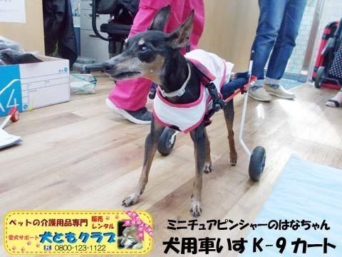ペット用車椅子K9カートミニチュアピンシャーのはなちゃん2020080901.jpg