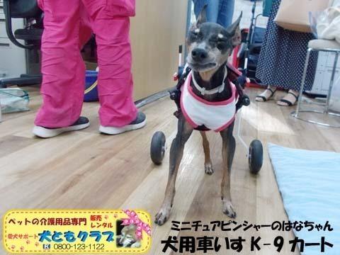 ペット用車椅子K9カートミニチュアピンシャーのはなちゃん2020080902.jpg