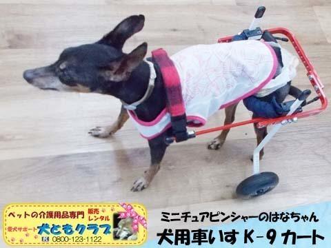 ペット用車椅子K9カートミニチュアピンシャーのはなちゃん2020080903.jpg