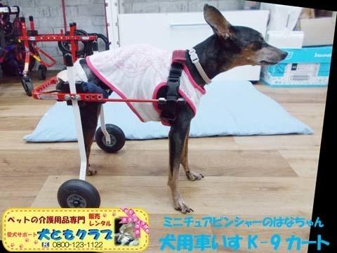 ペット用車椅子K9カートミニチュアピンシャーのはなちゃん2020080904.jpg