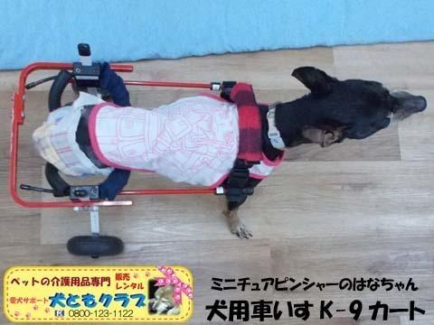 ペット用車椅子K9カートミニチュアピンシャーのはなちゃん2020080905.jpg