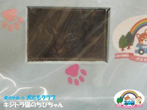 犬ともフレンズキジトラ猫のちびちゃん2016011502.jpg