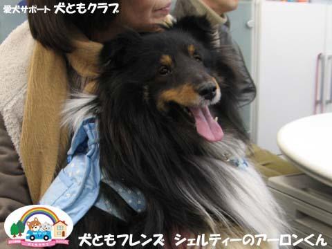 犬ともフレンズシェルティーのアーロンくん2015_02_1401.jpg