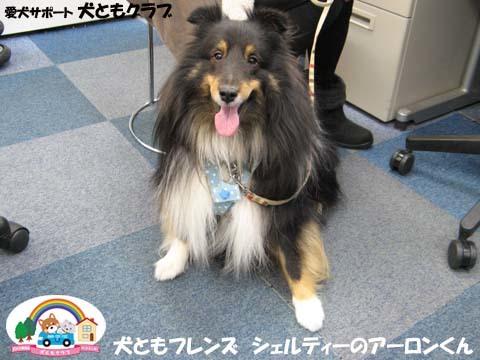 犬ともフレンズシェルティーのアーロンくん2015_02_1402.jpg