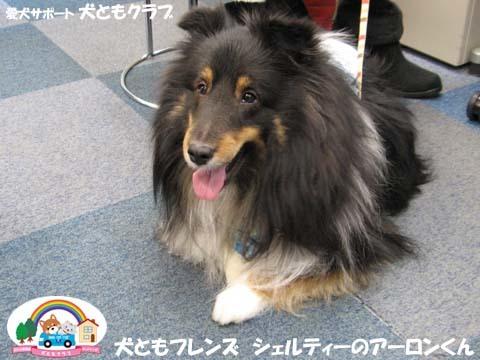 犬ともフレンズシェルティーのアーロンくん2015_02_1403.jpg