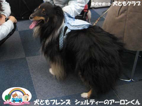 犬ともフレンズシェルティーのアーロンくん2015_02_1404.jpg