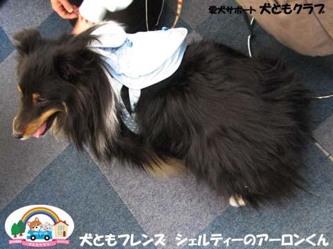 犬ともフレンズシェルティーのアーロンくん2015_02_1405.jpg