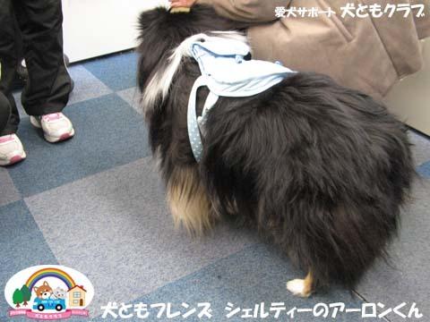 犬ともフレンズシェルティーのアーロンくん2015_02_1406.jpg