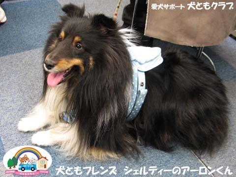 犬ともフレンズシェルティーのアーロンくん2015_02_1407.jpg