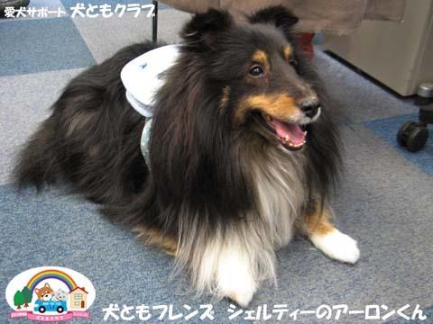 犬ともフレンズシェルティーのアーロンくん2015_02_1408.jpg