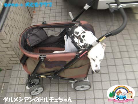 犬ともフレンズダルメシアンのドルチェちゃん2017091901.jpg