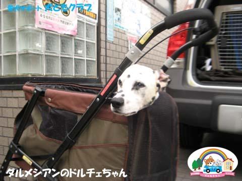 犬ともフレンズダルメシアンのドルチェちゃん2017091903.jpg